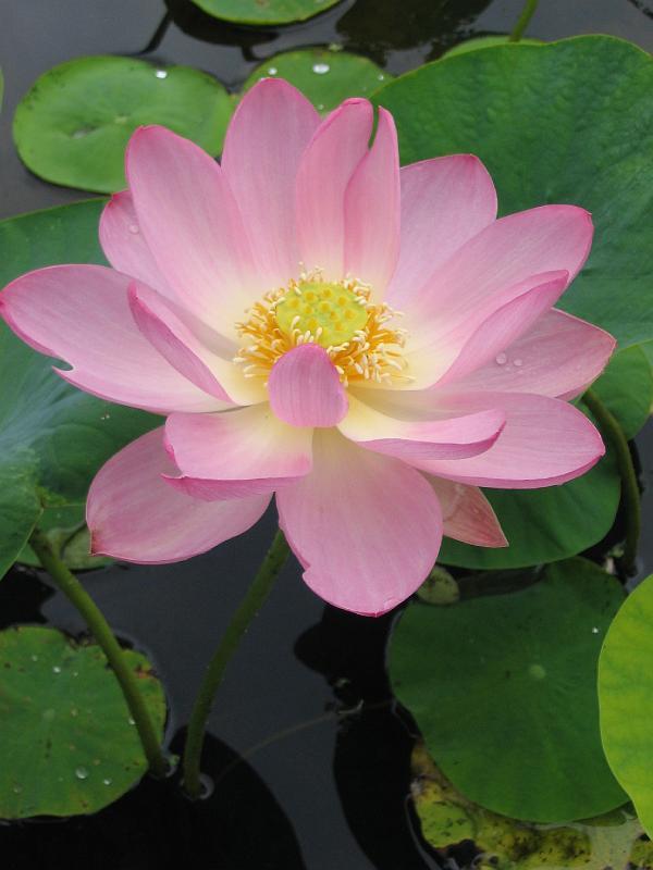 Cr ation bassin aquatique jardin d 39 eau plantes aquatiques piscines biologiques cr er bassins - Plantes oxygenantes pour bassin ...