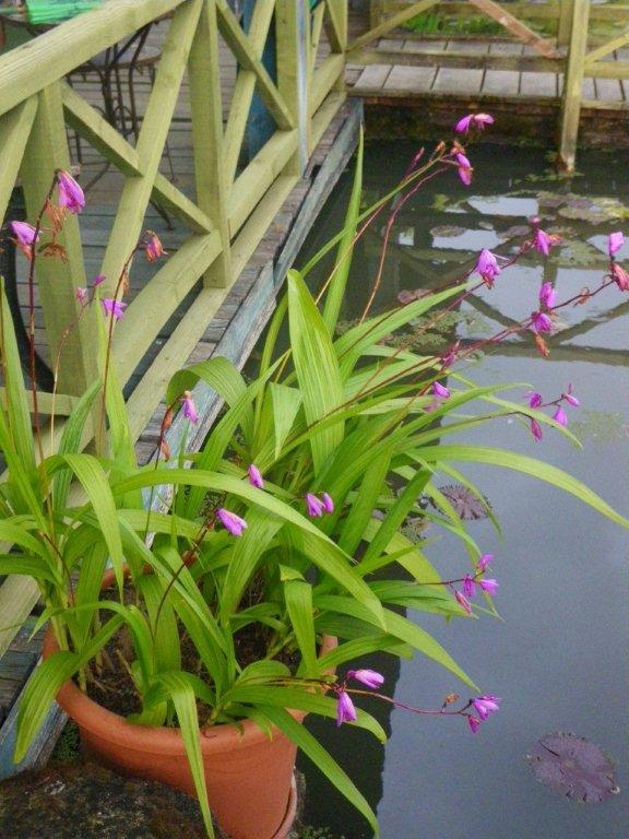 Vente plantes aquatiques piscines biologiques cr ation for Achat plante bassin